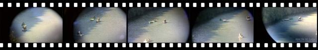 secuencia fotos venado nadando